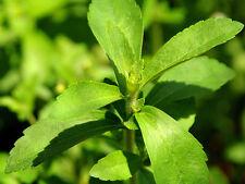 STEVIA EDULCORANTE natural MUY DULCE 500 semillas seeds