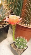 Kakteen Sukkulenten  Echinopsis  spec.  Hybriede  2