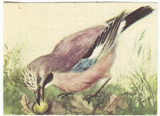 Geai des chênes Garrulus glandarius Eurasian Jay OISEAU BIRD N°22 IMAGE 50s