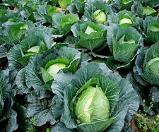 CABBAGE 1100 SEEDS - Amsterdam White Ballhead -  POPULAR