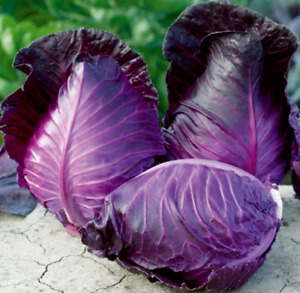 Seeds Cabbage Red Kalibos Giant Vegetable for Planting Organic Heirloom Ukraine