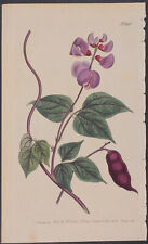 Curtis - Black-Seeded Dolichos. 896 - 1787-1800's The Botanical Magazine