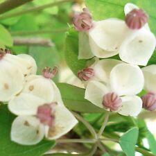 Akebia Quinata cream form in 9cm pot