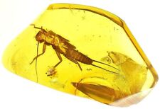 Baltic amber fossil insect rare Stonefly Plecoptera Perlodidae exuvio (co51)