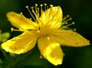 2000 (!!) Samen Echtes Johanniskraut (Hypericum perforatum) Heilpflanze, mehrj.