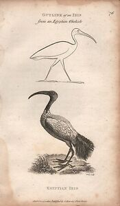 1808 ANTIQUE ORNITHOLOGICAL PRINT - GEORGE SHAW- EGYPTIAN IBIS, OUTLINE FROM OBE