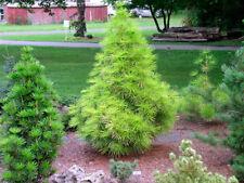 Japanese Umbrella Pine, Koyamaki (SCIADOPITYS verticillata) 7 seeds