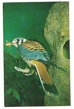 SPARROW HAWK Male Bird of Prey with BUG in BEAK Common in US Postcard 1960