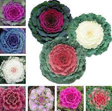 Kale Bonsai Ornamental Seeds Plants Cabbage Flowering Pot Garden 100pcs/bag
