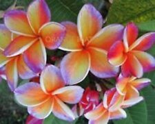 """ORANGE BEAT"" FRAGRANT Plumeria Cutting Healthy Plant Fresh 7-12 INCH+ROOTED"