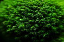 PIANTA PIANTE ACQUARIO FISSIDENS FONTANUS PHOENIX MOSS AQUARIUM LIVE PLANT