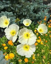 WHIITE ICELAND POPPY- PAPAVER NUDICAULE, 50+ SEEDS, ROCKERY - FLOWER BORDERS