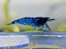 10+1 Dream Blue Velvet Shrimp _Live Aquarium Shrimp_Neocaridina Shrimp