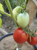 Tomate Pillnitzer Stamm XV 10 Tomaten Samen neue Ernte 2020 aus bio Anbau Nr.433