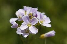 Wiesenschaumkraut Cardamine pratensis Blätter schmecken wie Brunnenkresse