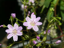 Lewisia columbiana x 20 fresh seed