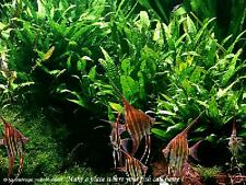 Java Fern - Live Aquarium Plant Moss Anubias Fish Tank