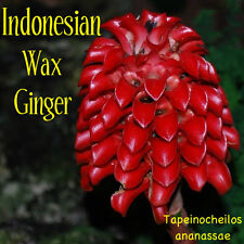 INDONESIAN RED WAX GINGER  SEEDS - Tapeinochilos ananassae (RARE)