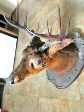 Rare 10 Point Deer Head Taxidermy Shoulder Mount