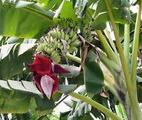 Musa acuminata ssp. acuminata - Banana Tree - 50 Seeds