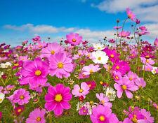cosmos, Sensation Cosmos, flower, 155 seeds! GroCo,