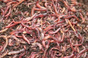 Redworm Wiggler Mix w/African Nightcrawler Cocoons Baby Worm Colony Starter 16OZ