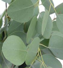 Silver Dollar Eucalyptus 25 Seeds-Houseplant or Outdoor
