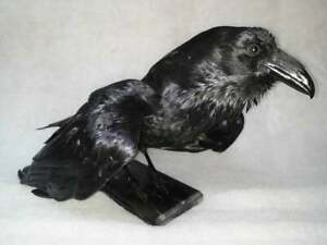Stuffed raven on a wooden black stand Taxidermy Bird