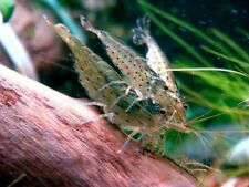 10 +1 Amano Shrimps , Algae Eating Shrimp - Live Aquarium Shrimp