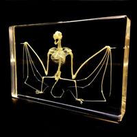 Real Bat Animal skeleton Specimen Science Classroom Teacher Education Taxidermy