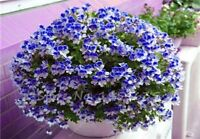 US-Seller 50 PCS Univalve Geranium Seeds for Mini Indoor Bonsai Home Garden