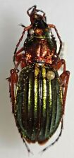 Carabidae Carabus Chrysocarabus auronitens normannensis France #W95 Beetle
