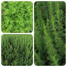 Cola-Strauch Eberraute Artemisia abrotanum duftet bei Berührung nach Cola