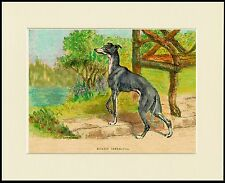 ITALIAN GREYHOUND IN GARDEN SCENE CHARMING DOG PRINT MOUNTED READY TO FRAME