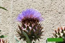 min 30 Samen Cardy Heilpflanze seeds spanische Artischocke Cynara cardunculus