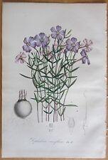 Van Houtte: Garten Blumen Dipladenia aus Brasilien - 1846#