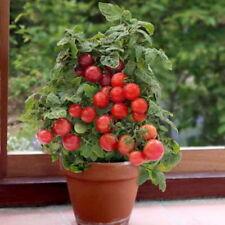BALCONY CHERRY TOMATO RED - BAJAJA (250 SEEDS)