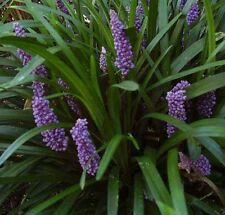 Liriope muscari 'Big Blue' 250 Bare Root Plants FREE SHIPPING