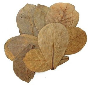 10 pcs Catappa Indian Almond Leaves for shrimp betta discus cichlid - USA Seller
