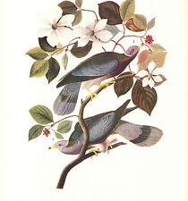 AUDUBON 1937 Book Print BAND-TAILED PIGEON Birds of America Painting