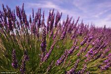 3000 Samen Echter Lavendel * Lavandula angustifolia Lavendelsamen  001414