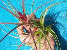 Bromeliad Tillandsia Starburst Large Exotic Tropical Plant