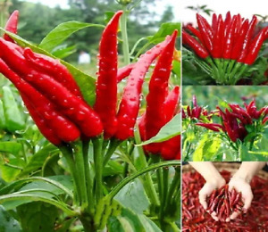 Red Chili Hot Pepper Spices Seeds UK STOCK