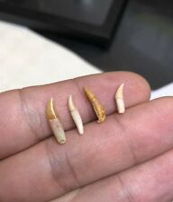 Extremly Collection Of 4 Rare Delfinodon Chile Teeth Fossil Fossile Miocen