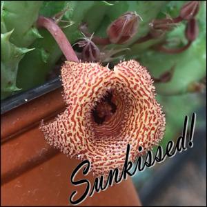 Huernia - Dragon Flower - Drought hardy succulent