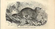 Stampa antica GATTO LEOPARDO Prionailurus bengalensis Cat 1891 Old antique print