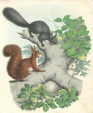 alte Grafik Druck Stich, Eichhörnchen von 1860 #E791