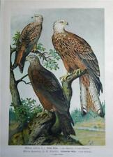 Antique Naumann Birds Print 1896 - RED & BLACK KITE- ROTER & SCHWARZER MILAN