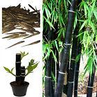 Black Bamboo Seeds. Phyllostachys Nigra. Choice Of Quantity