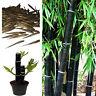 Schwarz Bambus Samen. Phyllostachys Nigra Auswahl Von Menge